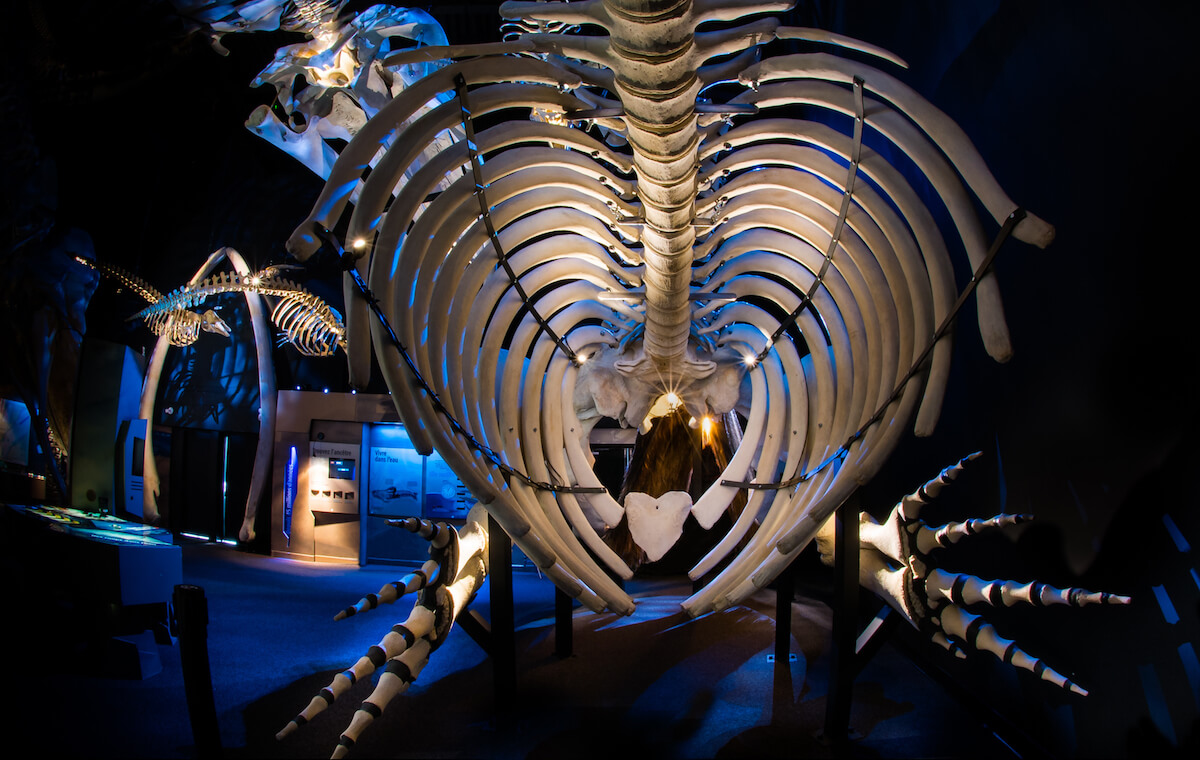 The rib cage of a North Atlantic right whale skeleton.