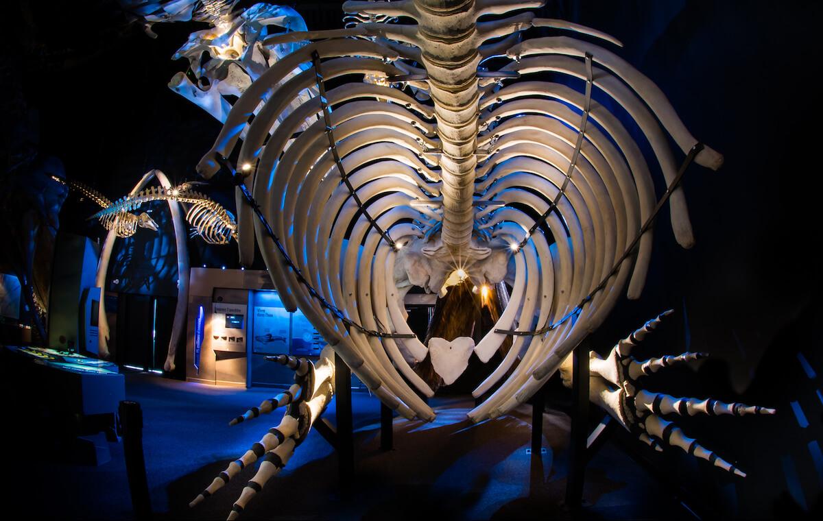 La cage thoracique d'un squelette de baleine noire d'Atlantique Nord.