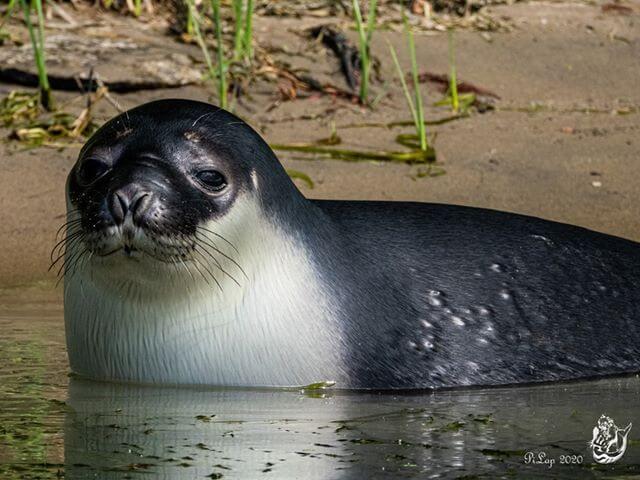 Phoque à capuchon photographié de près qui regarde vers la caméra. Il est à moitié dans l'eau.