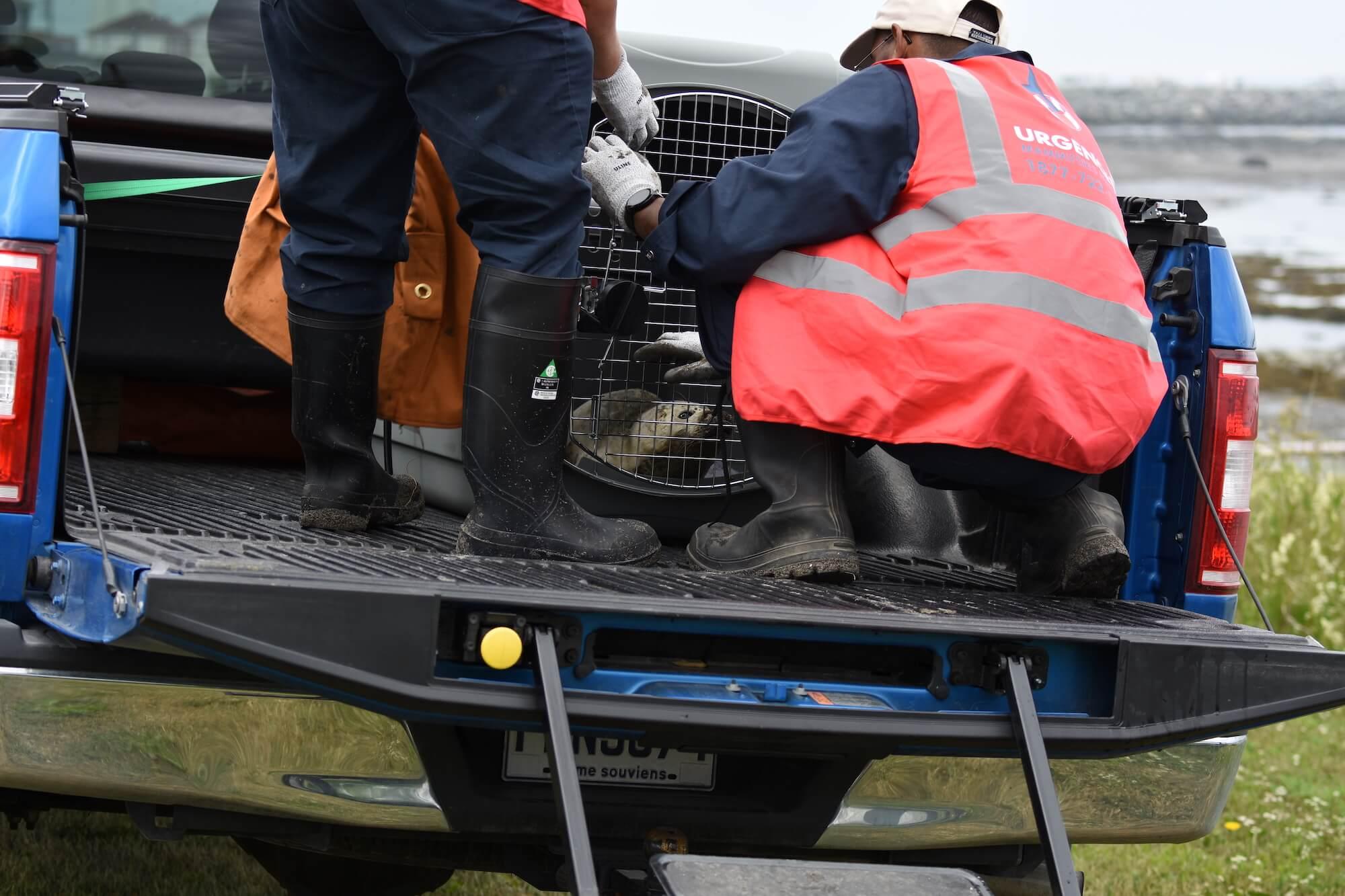 Boîte de camion pick-up dans laquelle se trouvent les deux membres de l'équipe mobile de la rive sud du fleuve et un phoque, dans une grosse cage.