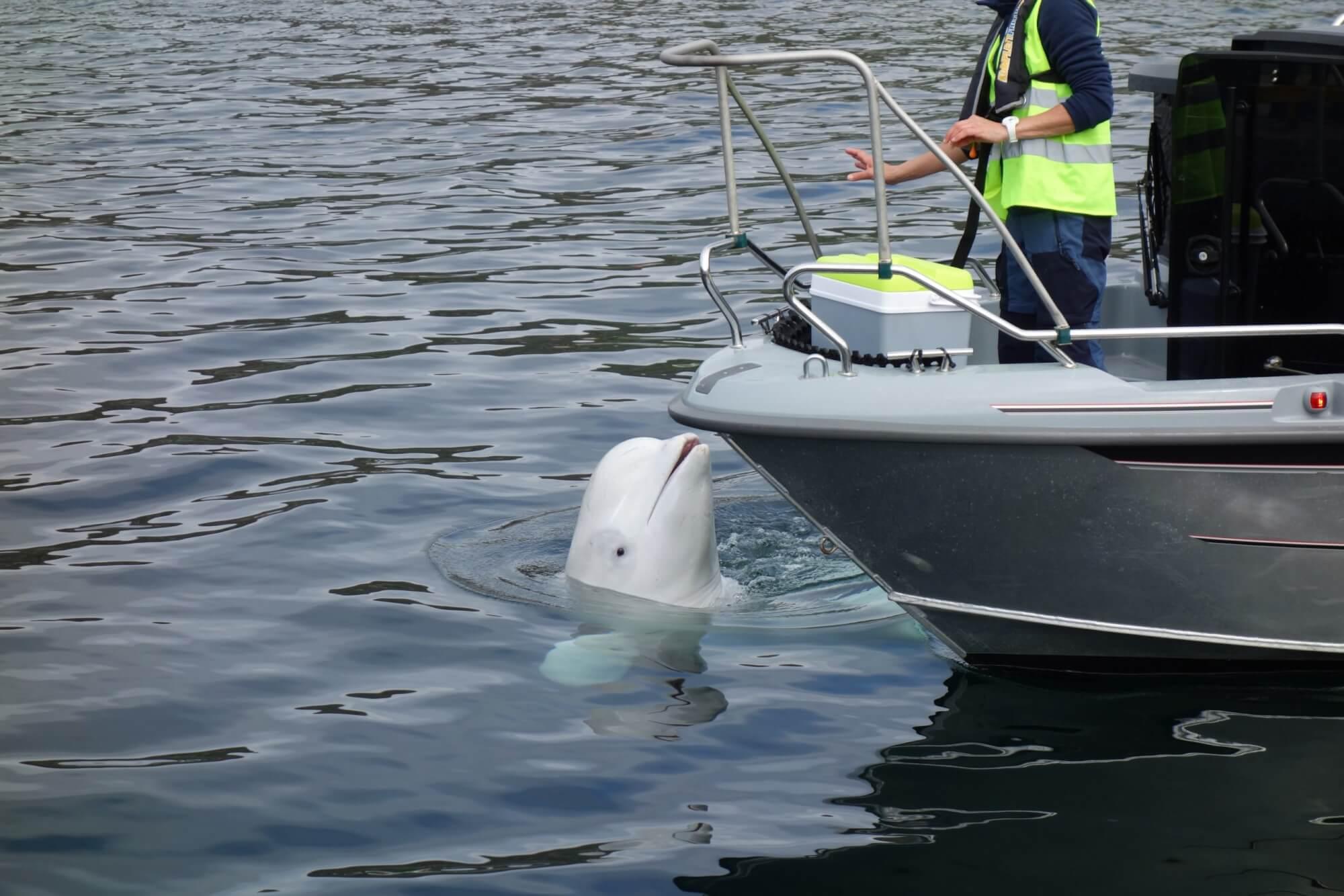 beluga interacting with boatsmen