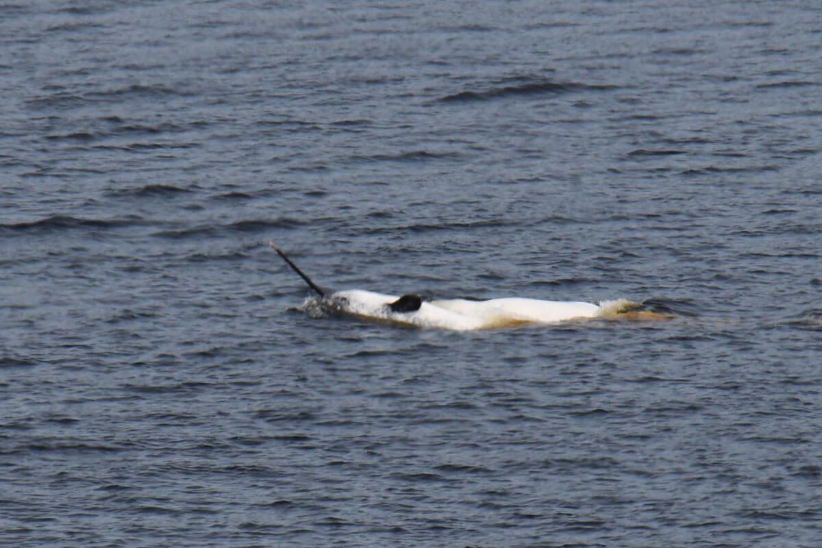 narval nageant sur le dos