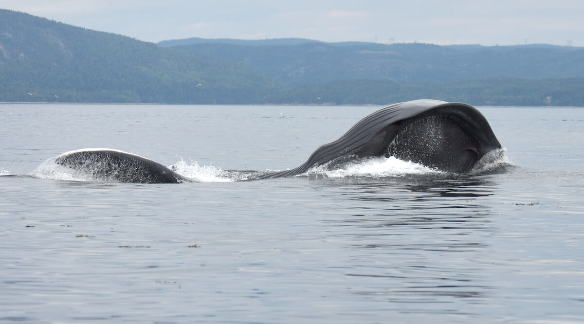 A whale feeding on the surface.