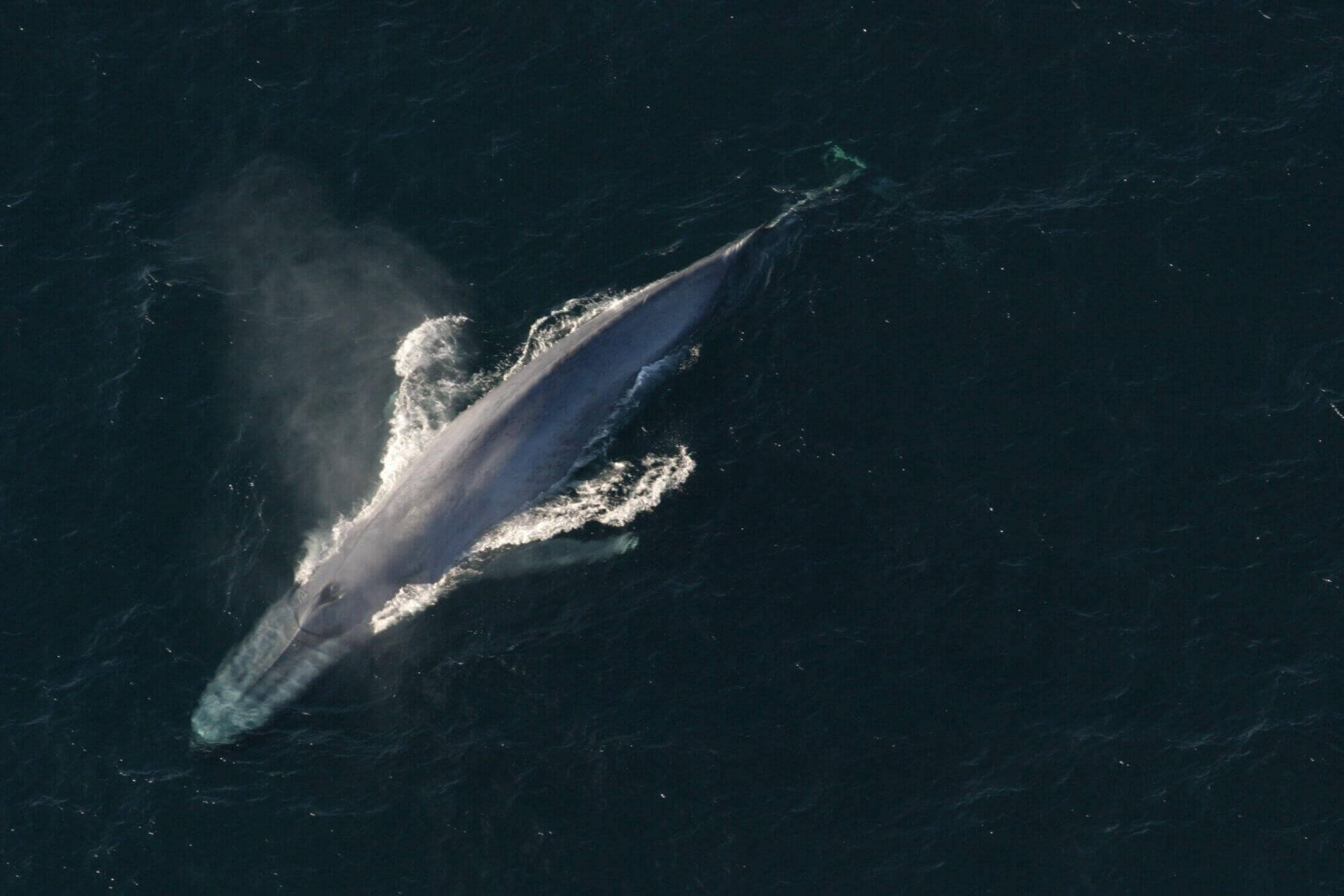 blue whale from above