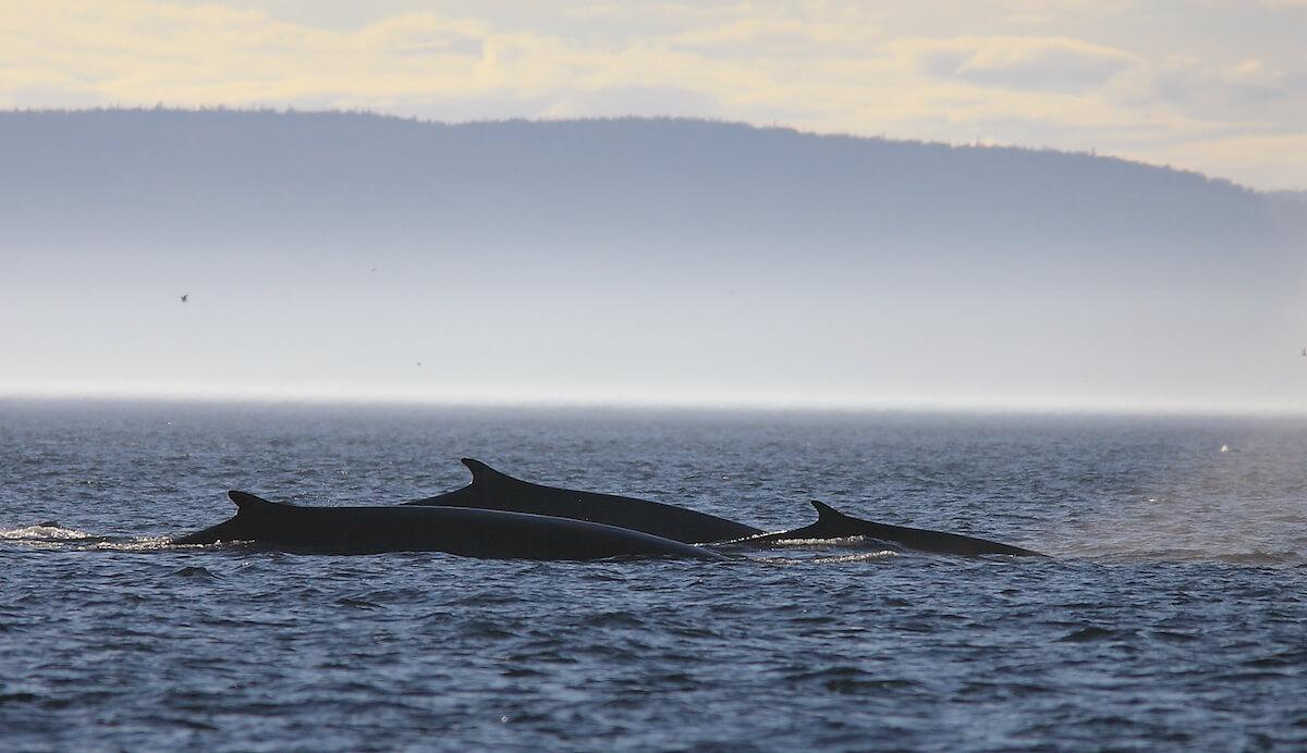 three fin whale backs