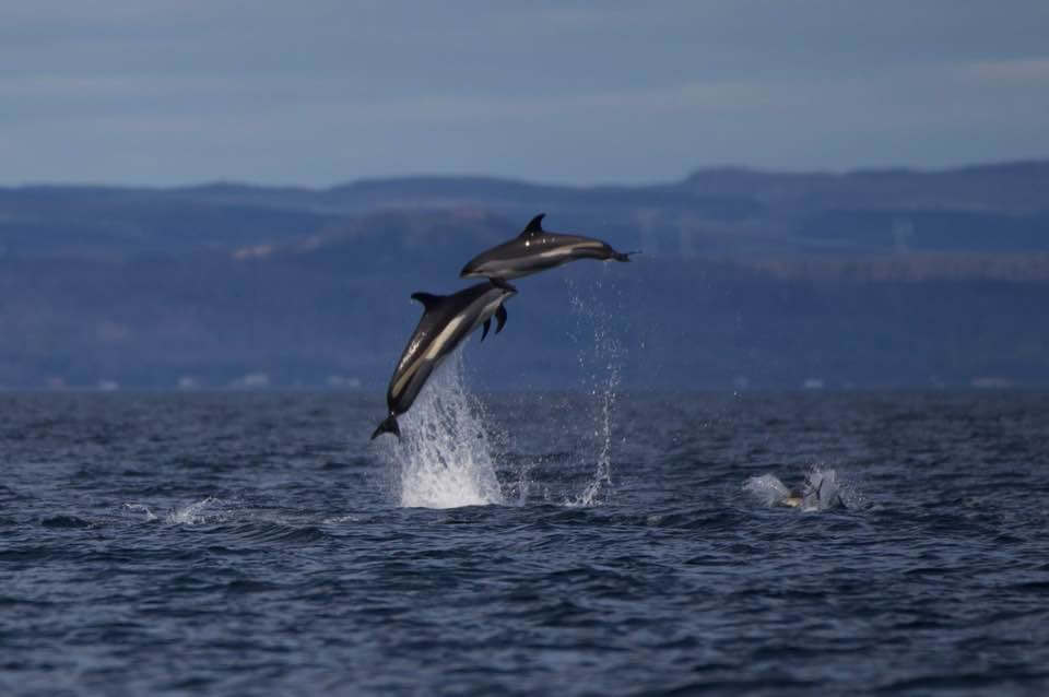 Two white-sided dolphins jumping out of the water.