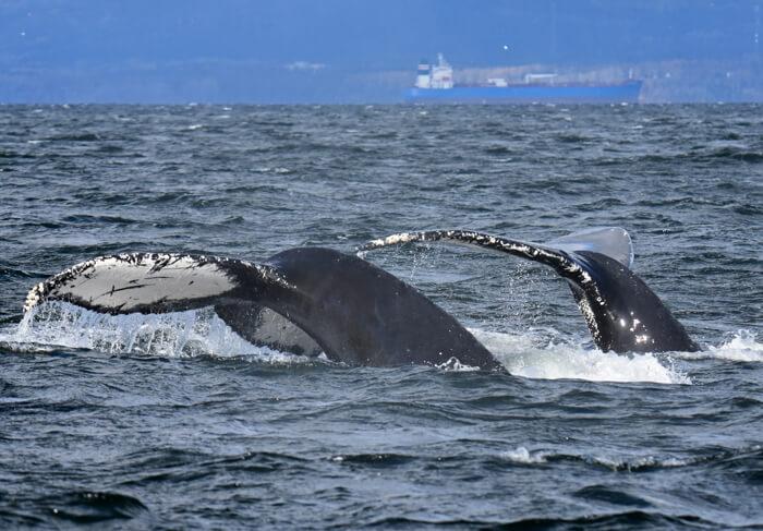 La queue de deux baleines à bosse sortant de l'eau.