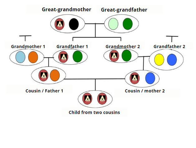 A visual showing genetic's transmision.