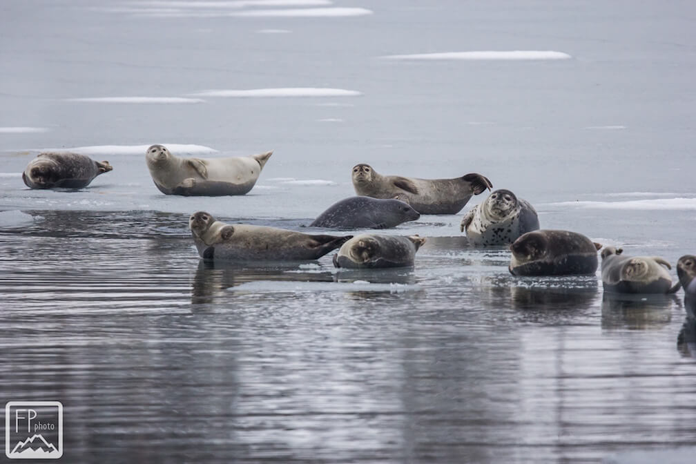 Harbour seals resting on the ice