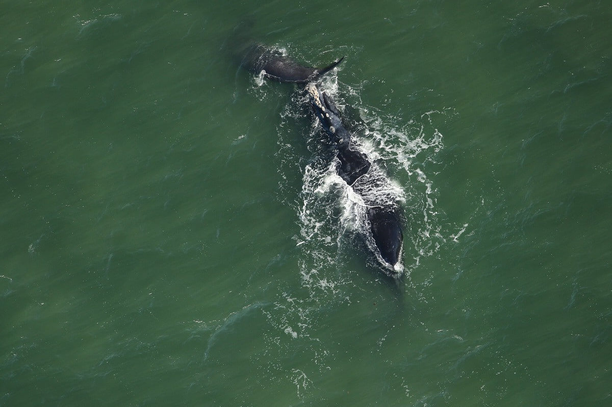 right whale and her calf