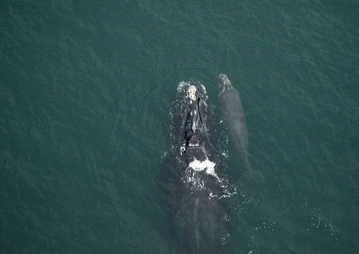 right whale and calf swimming