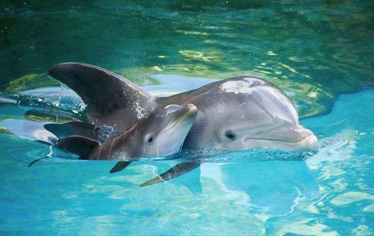 baby dolphin with mother