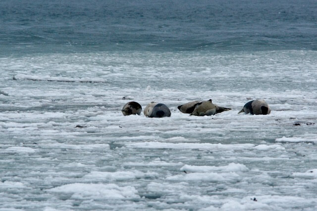 Seals on the ice.