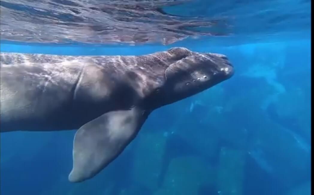 Calf under water