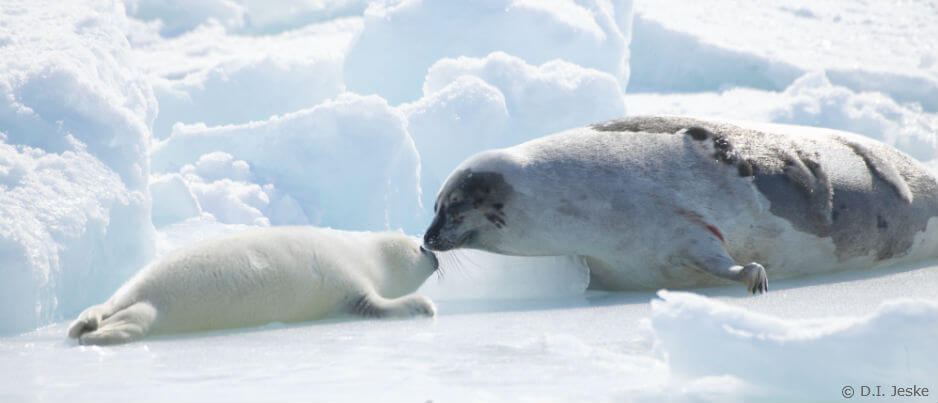 A whitecoat and his mother harp seal on the ice floe.