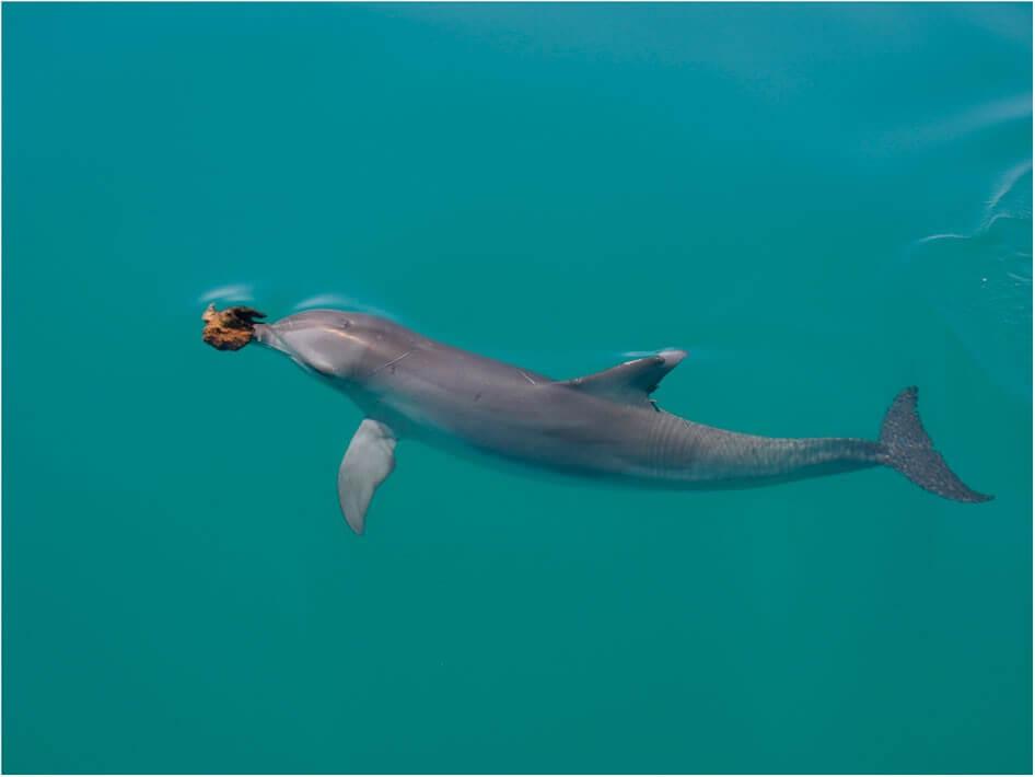 A dolphin wear a sea sponge on its rostrum.