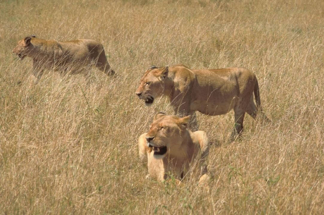 three lionnesses in the savana