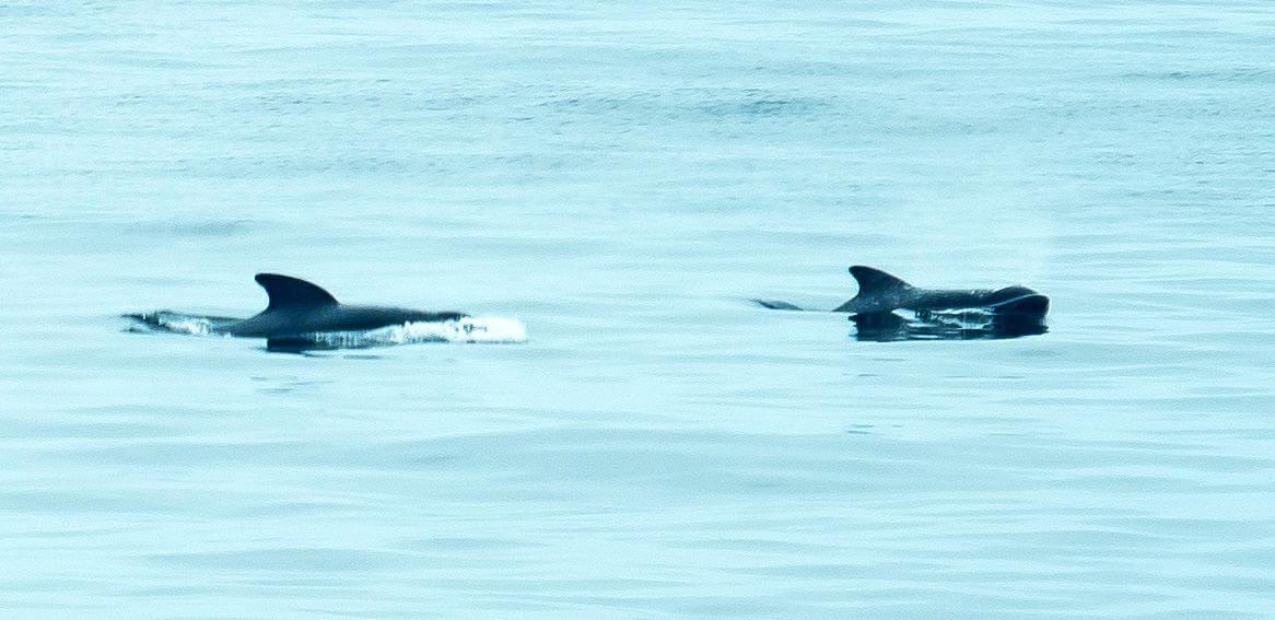 apparition de deux dos noirs à la surface de l'eau
