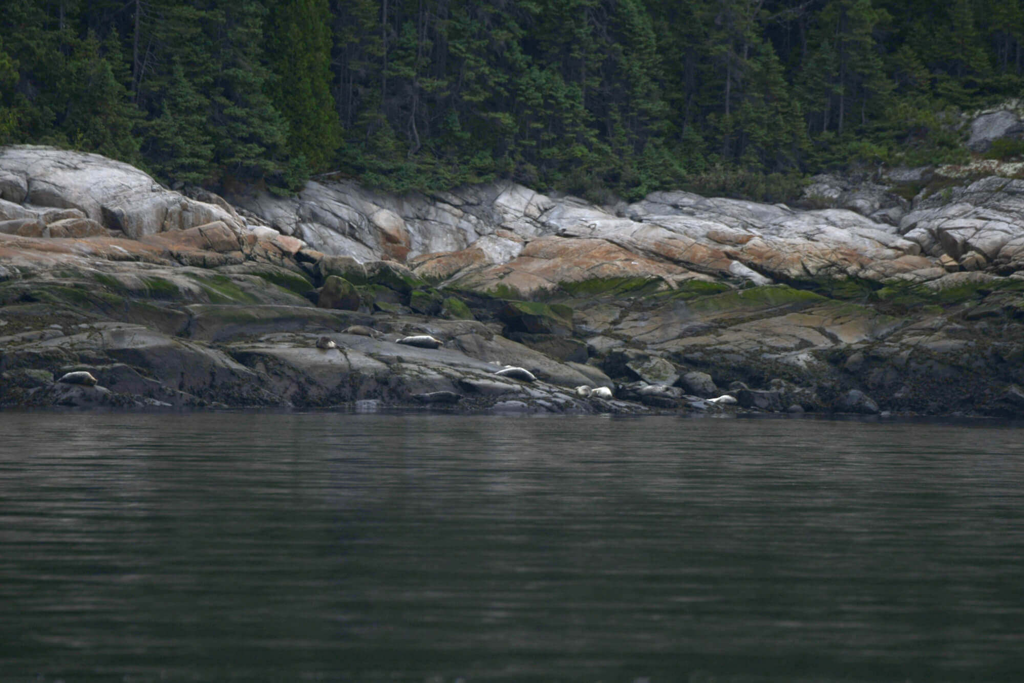 phoques communs se laissant sécher sur des rochers