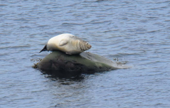 un phoque commun sur sa roche