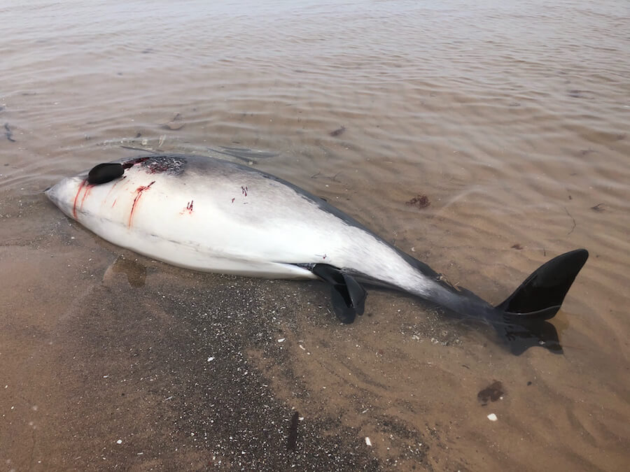 A carcass of a female porpoise lying on its side, with a fetal tail fin visible in the genital slit