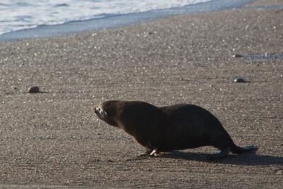 une otarie à fourrure courant vers la mer