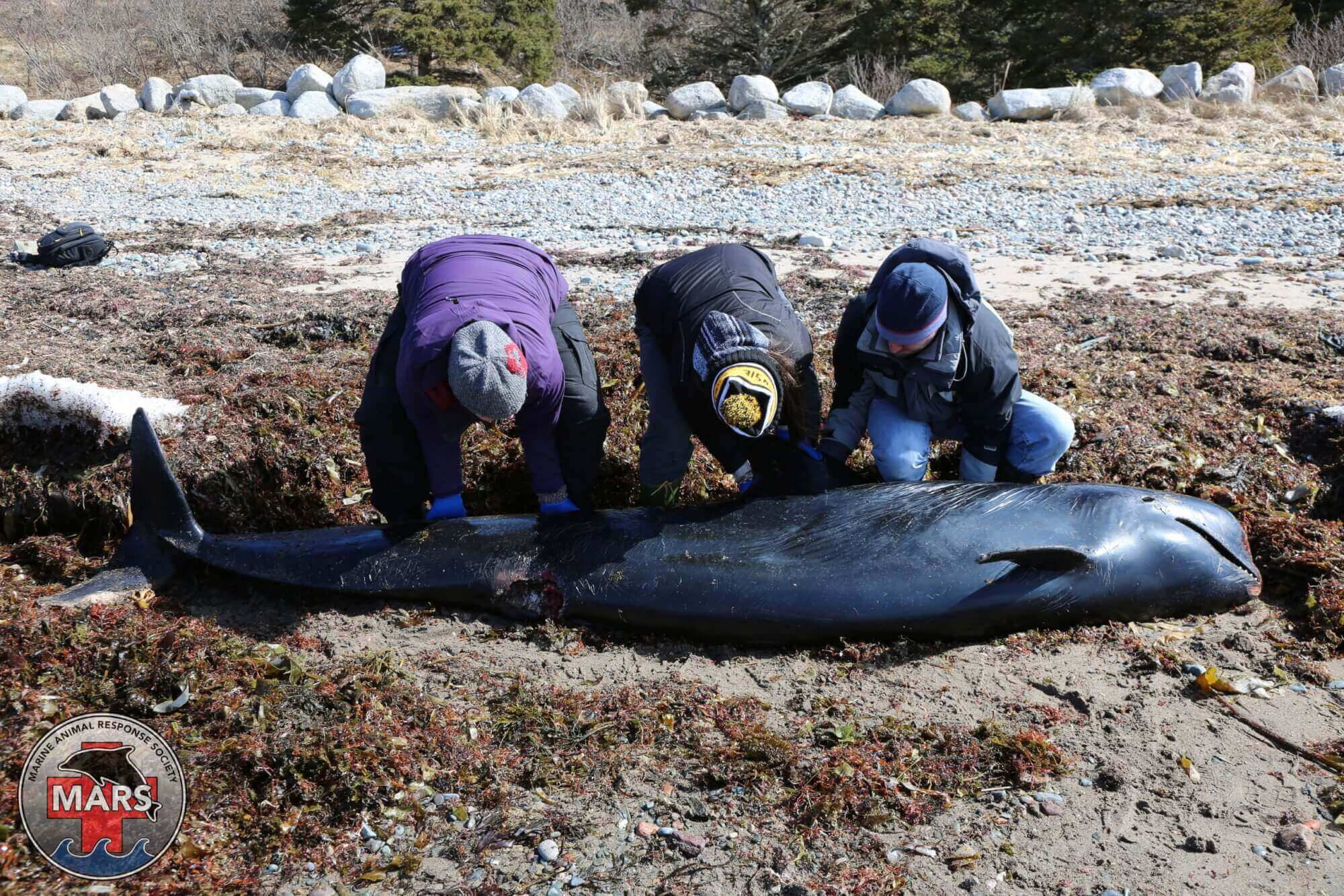 people analyze a long finned pilot whale carcass