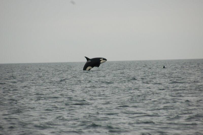 épaulards sautant hors de l'eau