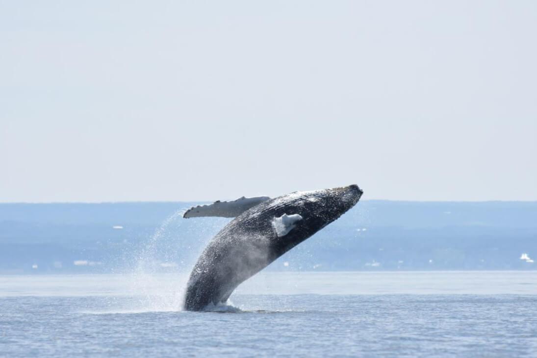 baleine a bosse qui saute