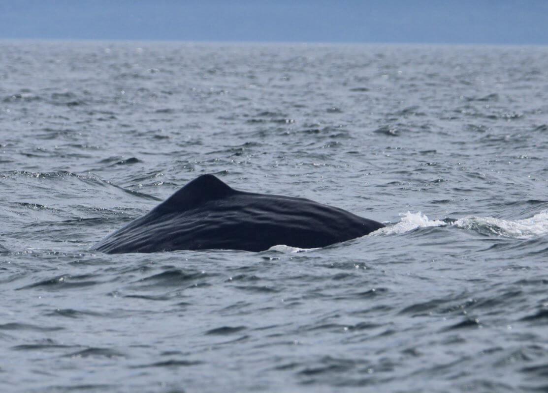 nageoire dorsale d'un cachalot