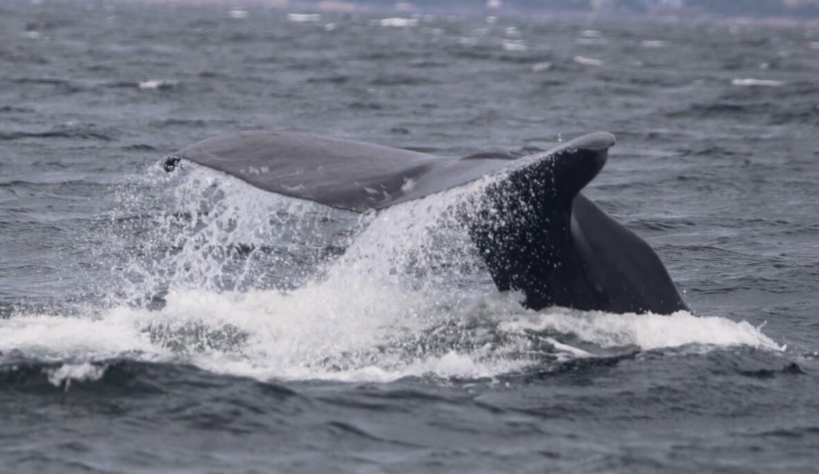 nageoire caudale d'un cachalot