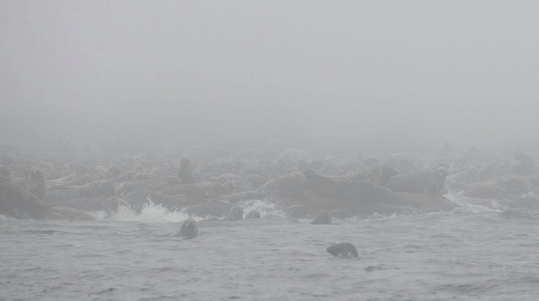phoques dans la brume