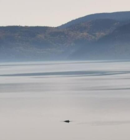 dos de petit rorqual dans le fjord du Saguenay